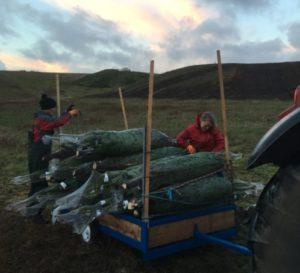 juletræ økologisk juletræer østjylland Østjylland Mariager salg